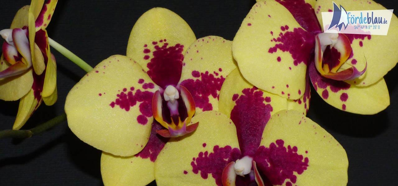 Wunderschöne Orchidee in Gelb